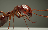 fire ant by eric keller