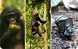 les bonobos, jardiniers des forêts