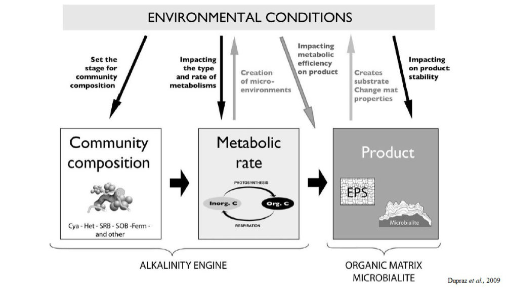 Schematic illustration of the control factors on production of organic minerals. The mineral product results from complex interactions between bacterial communities, their specific metabolic activities and the environment. Particular environmental conditions (e.g., elevated water alkalinity, high pCO2) can affect the efficiency of a specific metabolism to produce minerals (Dupraz et al 2009).