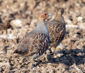 couple de perdrix grises (photo V. Bretagnolle)