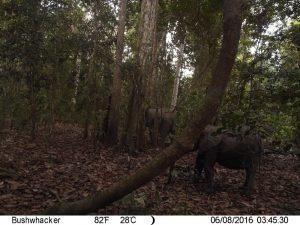 Photo issue de piège photographique installé dans le parc de Moukalaba- Doudou au Gabon, dans le but d'approfondir nos connaissances sur les interactions arbres-frugivores